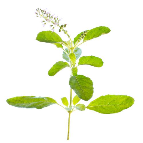 holy basil leaf flower green