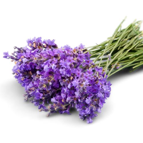 fresh Lavender flower violet