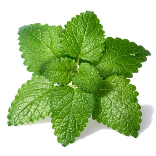 Lemon balm leaves green