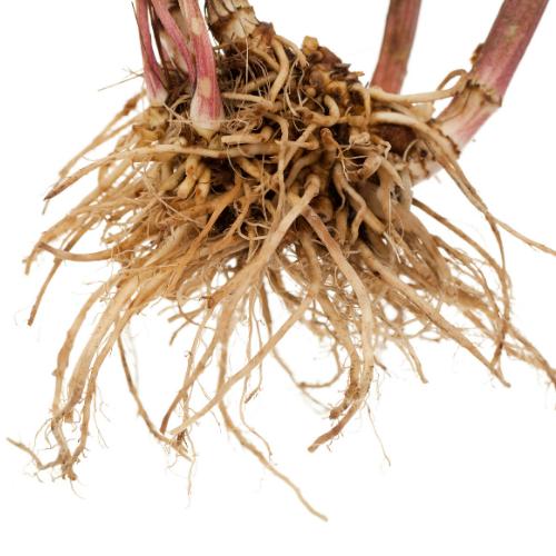 Valerian root stems brown