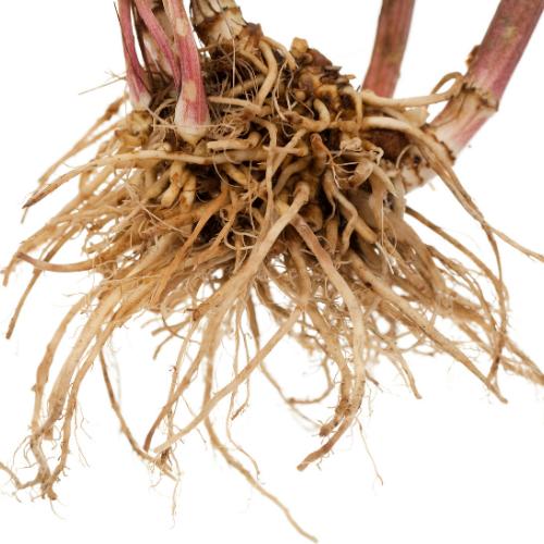 fresh brown valerian root bark in white background