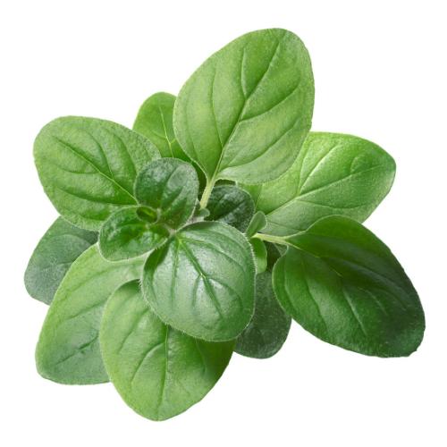 oregano green leaves