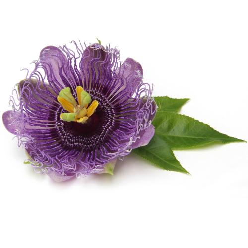 fresh passionflower violet