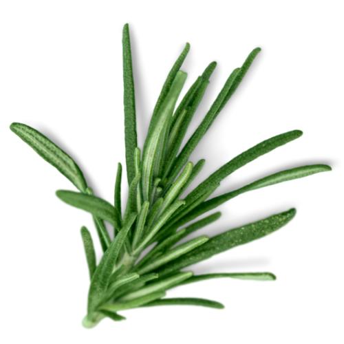 rosemary green leaves