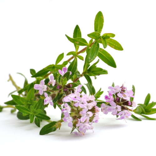 thyme flower with green leaves
