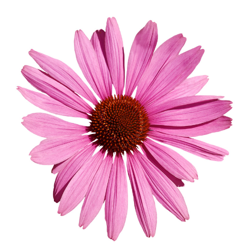 Echinacea pink Flower